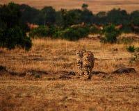 Cheetahs Royalty Free Stock Photography