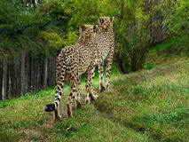 Cheetahs. Two moving big african cheetahs Royalty Free Stock Images