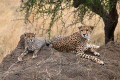 Cheetahs. Two Cheetahs sat on a rock in the Serengeti national park, Tanzania, Africa Stock Photography