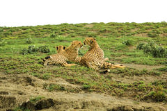 Cheetahs. Two young cheetahs with their mother in Tarangire National Park, Tanzania Africa Stock Images