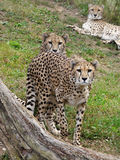 Cheetahs. Watching family of big african cheetahs Stock Photography