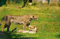 Cheetahs in a Wildlife Park. Afternoon rest of cheetahs at Fota Wildlife Park (Fota, Ireland Stock Image
