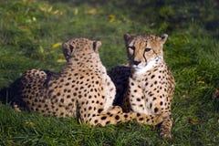 cheetahscoouple Royaltyfria Bilder