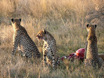 cheetahsmatning Arkivfoto