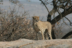 cheetahstanding Arkivfoton