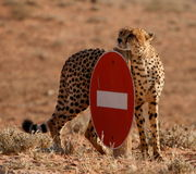 cheetahtillträdesnr. Arkivbild