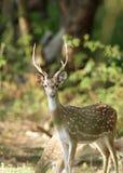 Cheetal deer Stock Photography