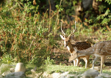 Cheetal deer in Bijrani forest Royalty Free Stock Image