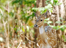 Cheetal deer in the bushes of Jim Corbett forest Stock Photos