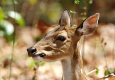 Cheetal deer chewing leaves Stock Image
