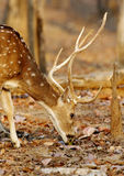 Cheetal deer feeding in pench tiger reserve Stock Photo