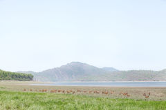 Cheetal deer in the grassland of Dhikala Royalty Free Stock Photography