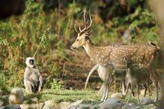 Cheetal deer and grey langur Stock Photo