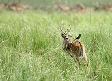 A cheetal deer with Mayna on back Royalty Free Stock Photos