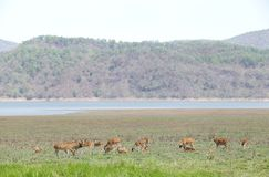 Cheetal deer near Ramganga reservoir Royalty Free Stock Photos