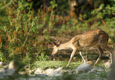 Cheetal deer near a water hole Stock Images
