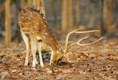 Cheetal deer in Pench National Park Stock Photo