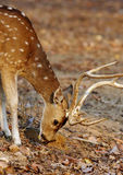 Cheetal deer in pench Stock Image