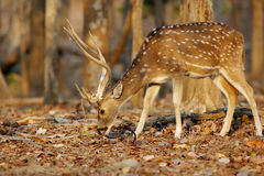 Cheetal deer in pench tiger reserve Royalty Free Stock Photos