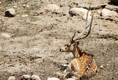 A Cheetal deer resting Royalty Free Stock Photos