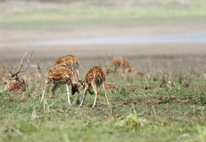 Cheetal deers knocking each other Stock Photo