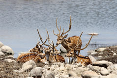 Cheetal deers near a water hole in Jim Corbett Royalty Free Stock Photography
