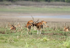 Cheetal deers playing in green Dhikala grassland Stock Image