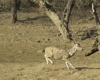 Cheetal hjortar luktar en fara Royaltyfria Bilder