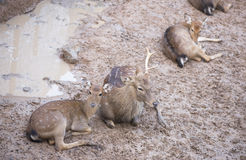 Cheetal or Spotted deer. Stock Photos