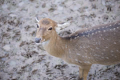 Cheetal or Spotted deer. Stock Images