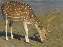 Cheetal Spotted deer - Axis axis. Cheetal spotted deer eating grass Royalty Free Stock Photo