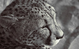 Cheetha. Close up of Cheetah, resting in the shade stock photography