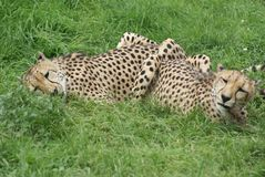 Cheetahs Lying in Grass. Cheetahs are lying in the grass eating some bones. They will lie there until they have finished their food so that no other animals come stock images