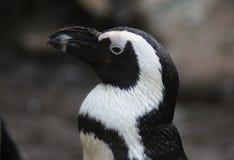 Chef aux pieds noir de pingouin Images libres de droits