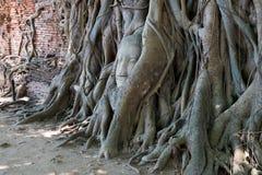 Chef Bouddha dans l'arbre Wat Mahathat, Ayuthaya, Thaïlande Photographie stock libre de droits