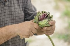 Chef cleaning artichoke Royalty Free Stock Photography