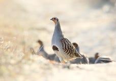 Chef d'un troupeau des perdrix grises dans une pose de l'attention, regard au photographe photos libres de droits