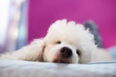Chef de chien de sommeil dans le romm Photos stock
