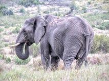 Chef de famille d'éléphant africain Photos libres de droits