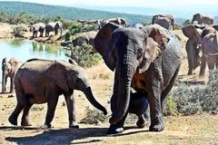 Chef de famille d'éléphant et veau nouveau-né photo stock