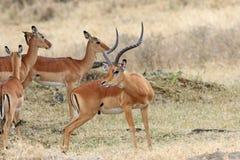 Chef de mâle adulte d'un impala d'antilope Images stock