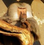 Chef de paquet de babouin Photographie stock