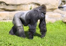 Chef de végétarien de primauté de singe de gorille Images stock