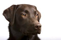 Chef fier de Labrador de chocolat Photographie stock libre de droits