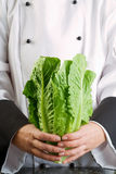 Chef Holding Fresh Cos Lettuce stock photos