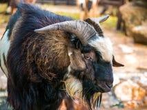 Chef noir de chèvre dans une fin de troupeau vers le haut d'oeil et de klaxon Images stock