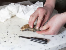 Chef is opening fresh oyster Royalty Free Stock Photography