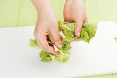 Chef rips green leaf lettuce Stock Photography