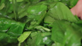 Chef washing fresh spinach leaves in freshwater stock footage