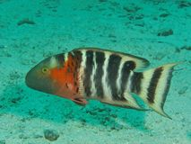 Cheilinus fasciatus. Is a wrasse. This picture was taken underwater in Tioman island, Malaysia Royalty Free Stock Photography